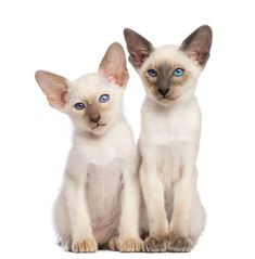 Two Oriental Shorthair kittens, 9 weeks old, sitting and looking away against white background by Lifeonwhite. Two Oriental Shorthair kittens, 9 weeks old, sitting and looking away against white background Oriental Shorthair Kittens, Layout Design, Print Design, Creative Infographic, Alien Art, Free Graphics, Branding Design, Design Inspiration, Disney Characters