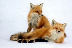 Red Foxes by Sagittor - Yves Bergeron
