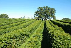Australia's own Coffee Research Program – An article from Bean Scene Magazine on a new coffee research advisory committee, CoffRAC, that will be examining the science behind what coffee Australians like to drink and why and how it can be grown domestically.