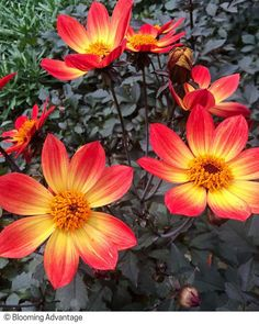 Dahlia 'Happy Single Flame' 🌺 Compact, well-branched and floriferous, with an upright and open habit. Fiery red single flowers sport a yellow halo around dark centers all summer long, atop lush dark foliage! Click through to get ideas that include it! Beautiful Flowers Photos, Beautiful Nature Pictures, Flower Photos, Orange Flowers, Colorful Flowers, Paradise Pictures, Family Flowers, Single And Happy, Paint Photography