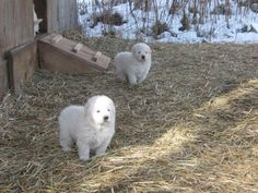 Home of The Maremma Sheepdog The close guarding livestock guardian dog ^^^^^^^^^^^^^^^^^^^^^^^^^^^^^^^^^^^^^^^^^^^^^^^^^^^^^^^^^^^^^^^^^^^^^^^^^^^^^^^^^^^^^ Puppies for sale spring and fall Started Maremma Dog, Maremma Sheepdog, Baby Puppies, Baby Dogs, Pyrenees Puppies, Great Pyrenees, White Dogs, Mountain Dogs, Working Dogs