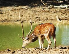 Spotted deer are often seen in Yala National Park
