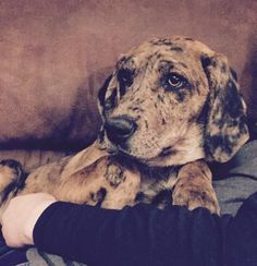 Hi there! My name is Darla and I'm a #bluetickcoonhound girl. My foster parents call me Darlin'. I love to cuddle with their two kids and play with their #dog. I am very smart and almost house broken already. Because I'm a growing #puppy, I also like to chew, so keep your shoes hidden and give me lots of good chew toys. I need a family who will love me and adopt me into their forever home. Could that be you? http://www.doggielife.com/JOCJY5