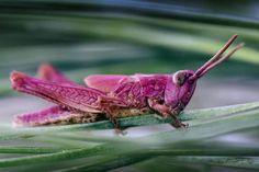 ¿Un saltamontes rosa? Esta coloración en los saltamontes fue descrita por primera vez en 1887.