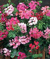 Summer Showers Mix Geranium Seeds and Plants, Annual Flower Garden at Burpee.com