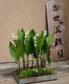 Convallaria  majuscula (American lily-of-the-valley) Young Choe kusamono