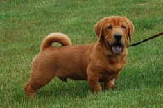 Wilbur's Web Page sharpei basset hound mix! too stinkin cute :)  he is  available for adoption via Delaware puppy rescue
