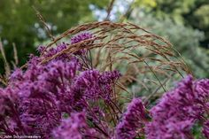 Eupatorium 'Purple Bush' & Calamagrostis 'Karl Foester')