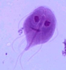 How funny is it that I find a Giardia trophozoite on Pinterest.