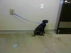 O'CRYUS-ID#A698915    My name is O'CRYUS.    I am a male, black and white Labrador Retriever mix.    The shelter staff think I am about 8 months old.    I have been at the shelter since Feb 11, 2013.
