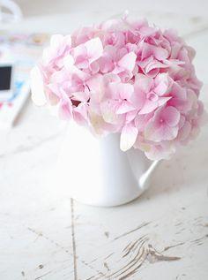 shellsonthebeach:    Baby Pink Hydrangea by yvestown on Flickr.