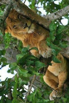 It's a lazy afternoon. Gorgeous Lion.