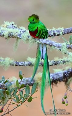 """Quetzal - O nome """"quetzal"""" é derivado da palavra náuatle quetzalli, """"pena de cauda grande e brilhante"""". O nome científico Pharomachrus vem do grego pharos (""""manto"""") e makros (""""longo""""), em referência à plumagem da cauda e asas do quetzal resplandescente."""