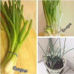 Forma casera de cultivar la cebolla en rama