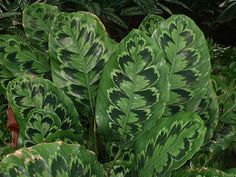Snake leaf croton at Longwood Gardens | Flickr - Photo Sharing!