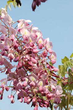 wisteria brakybotrys showa beni, bloei mei-jun, winterhard, snoei sept