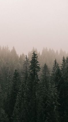 The latest iPhone11, iPhone11 Pro, iPhone 11 Pro Max mobile phone HD wallpapers free download, pines, forest, fog, trees - Free Wallpaper | Download Free Wallpapers