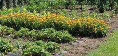 bylinky a ich výluhy proti škodcom  v záhrade