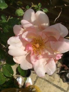Rose in Shadow. Glyn Overton.
