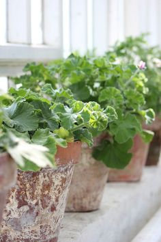 geraniums in weathered pots