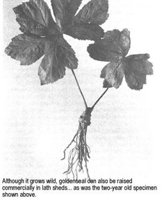 If you develop the skills and know your local area well you could make money by harvesting wild medicinal plants such as ginseng, goldenseal, may apple and bloodroot. Originally published in the July/August 1974 issue of MOTHER EARTH NEWS as