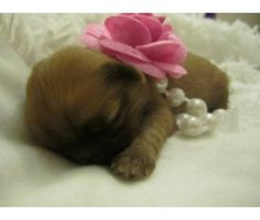 TINY Precious Baby Shih Tzu Puppie