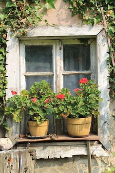 says home like geraniums on the window sill. says home like geraniums on the window sill.says home like geraniums on the window sill. Cottage Windows, Garden Windows, Old Cottage, Cottage Style, Old Windows, Windows And Doors, Red Geraniums, Through The Window, Window View