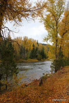 .Aspens turned to Gold along the Conejos River in Colorado