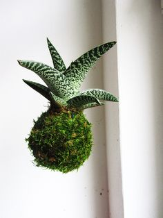 závěsná+kokedama+Aloe+Kokedama+je+původem+z+Japonska,+ale+i+u+vás+doma+bude+vypadat+překrásně.+Jedná+se+o+moderní+trend+v+pěstování+interierových+rostlin.+Mechová+koule,+jak+zní+i+překlad+z+japonštiny,+je+jakousi+náhradou+za+květník,+jen+je+oproti+květníku+o+moc+stylovější.+Je+optařena+háčkem+v+případě+že+se+rozhodnete+pro+levitující+variantu.+Péče+je... String Garden, Aloe, Plants, Plant, Planets, Aloe Vera