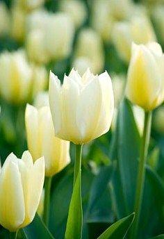 Tulp Purissima, Tulip Purissima