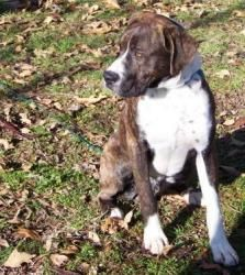 Diesel is an adoptable Boxer Dog in Princeton, IN. Diesel-Male- Boxer- 9-10 months This is Diesel. Diesel is a very well behaved and happy boxer boy. He has lived most of his life outside, but is a ve...
