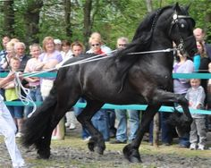 approved Friesian stallion Abe 346 - via Hengstenhouderij Fam. Bosma - Fotoalbum