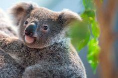 Festgeklammert auf Kofferraum: Koala überlebt 90 Kilometer lange Autobahntour