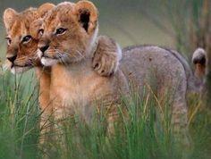 La vie des chats sauvages ne manque pas de tendresse et des moments d'amitié et d'amour partagé. Découvrez le côté doux des chats sauvages!