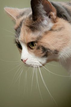 Photos de Calico Cats - Cats, cats, cats