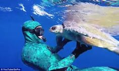 Touching: A sea turtle swims nose to nose with Cameron Dietrich after he freed it from tan...