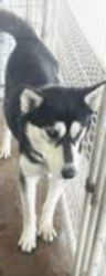 Kita - Newly listed! is an adoptable Siberian Husky Dog in Carrollton, TX. Kita is just a young husky, probably not more than a year old. �She loves to play chase games and, surprisingly, enjoys car r...