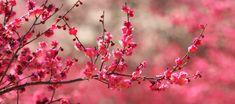 Nothing like the pink cherry blossom Facebook Cover Photos Flowers, Cover Pics For Facebook, Fb Cover Photos, Cover Photo Quotes, Spring Cover Photos, Fb Background, Facebook Background, Twitter Cover Photo, Cherry Blossom Wallpaper