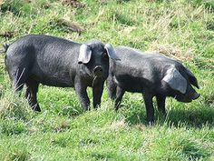 Large Black Hogs are one of the few hogs that can forage for most of their diet. They are very docile and the meat is succulent.