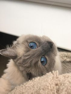 Blue eyes by Zd_g cats kitten catsonweb cute adorable funny sleepy animals nature kitty cutie ca