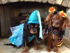 Lady Bailey & beautiful Bella the butterfly for Halloween! Cavalier King Charles Dog, King Charles Spaniel, Spaniel Dog, King Queen, Beautiful Dogs, Fur Babies, Pup, Butterfly, Halloween