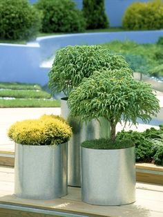 Love these simple aluminum pots with mini trees and juniper.