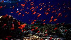Zvířata tapeta č.: 43346 | podmořský svět, červené rybky, ryby