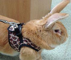 Blaze the Bunny. Blaze the Giant continental rabbit – Georgina& . New Zealand Rabbits, Giant Rabbit, Till We Meet Again, Raising Rabbits, Small Animals, Funny Bunnies, Rainbow Bridge, Over The Rainbow, Snuggles