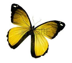 papillon: Morpho papillon jaune, isolé sur blanc