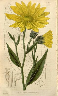 9756 Helianthus pubescens Hook. / Curtis's Botanical Magazine, vol. 54 [ser. 2, vol. 1]: t. 2778 (1827) [W.J. Hooker]