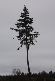 lone tree model for middle of oval - see the eagle?
