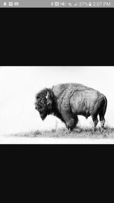 Bison                                                       …
