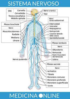 Nervous system diagram-it - Sistema nervoso periferico - Wikipedia Nervous System Diagram, Human Nervous System, Peripheral Nervous System, Central Nervous System, Nervous System Anatomy, Spinal Cord Anatomy, Spinal Cord Injury, Human Body, Mockup