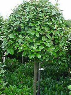 Elaeagnus ebbingei / Wintergrüne Ölweide Source by Patio Trees, Plants, Diy Garden, Garden Design, Garden Design Layout, Garden Planning, Garden Boxes Diy, Outdoor Gardens, Hillside Garden